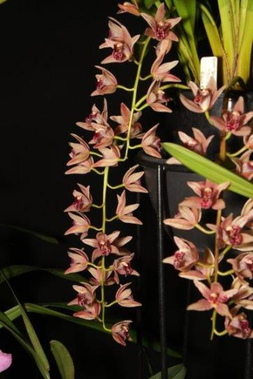 Cymbidium Devon Parish 'Devon Falls' Ern's Choice orchids, cymbidium, cymbidium kimberly splash, tee pee, south east Melbourne, Melbourne, orchid clubs, orchid societies, OSCOV, orchid photos, orchid care, orchid pictures, orchid images, orchid shows, orchid newsletters, orchids on Facebook, orchids of Twitter, Moorabbin, Bentleigh, Brighton, Hampton, Sandringham, Black Rock, Beaumaris, Bayside Council, Bayside district, Kingston, Bayside Melbourne, SE Suburbs, Parkdale, Mordialloc, Carnegie, Cheltenham, McKinnon, Highett, Oakleigh, Clarinda, Heatherton, Clayton, Dingley, Elsternwick, Caulfield, Ormond, Glenhuntley, Murrumbeena,