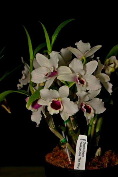 Dendrobium soft cane hybrid Yukidarama 'The King' orchids, cymbidium, cymbidium kimberly splash, tee pee, south east Melbourne, Melbourne, orchid clubs, orchid societies, OSCOV, orchid photos, orchid care, orchid pictures, orchid images, orchid shows, orchid newsletters, orchids on Facebook, orchids of Twitter, Moorabbin, Bentleigh, Brighton, Hampton, Sandringham, Black Rock, Beaumaris, Bayside Council, Bayside district, Kingston, Bayside Melbourne, SE Suburbs, Parkdale, Mordialloc, Carnegie, Cheltenham, McKinnon, Highett, Oakleigh, Clarinda, Heatherton, Clayton, Dingley, Elsternwick, Caulfield, Ormond, Glenhuntley, Murrumbeena,