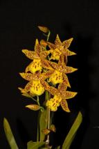 Odontocidium Tiger Barb orchids, cymbidium, cymbidium kimberly splash, tee pee, south east Melbourne, Melbourne, orchid clubs, orchid societies, OSCOV, orchid photos, orchid care, orchid pictures, orchid images, orchid shows, orchid newsletters, orchids on Facebook, orchids of Twitter, Moorabbin, Bentleigh, Brighton, Hampton, Sandringham, Black Rock, Beaumaris, Bayside Council, Bayside district, Kingston, Bayside Melbourne, SE Suburbs, Parkdale, Mordialloc, Carnegie, Cheltenham, McKinnon, Highett, Oakleigh, Clarinda, Heatherton, Clayton, Dingley, Elsternwick, Caulfield, Ormond, Glenhuntley, Murrumbeena,