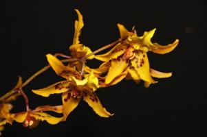 Oncidium Tiger Crow 'Golden Girl' orchids, cymbidium, cymbidium kimberly splash, tee pee, south east Melbourne, Melbourne, orchid clubs, orchid societies, OSCOV, orchid photos, orchid care, orchid pictures, orchid images, orchid shows, orchid newsletters, orchids on Facebook, orchids of Twitter, Moorabbin, Bentleigh, Brighton, Hampton, Sandringham, Black Rock, Beaumaris, Bayside Council, Bayside district, Kingston, Bayside Melbourne, SE Suburbs, Parkdale, Mordialloc, Carnegie, Cheltenham, McKinnon, Highett, Oakleigh, Clarinda, Heatherton, Clayton, Dingley, Elsternwick, Caulfield, Ormond, Glenhuntley, Murrumbeena,