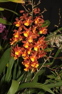 Oncostele Catatante 'Kilaueu Karmu' orchids, cymbidium, cymbidium kimberly splash, tee pee, south east Melbourne, Melbourne, orchid clubs, orchid societies, OSCOV, orchid photos, orchid care, orchid pictures, orchid images, orchid shows, orchid newsletters, orchids on Facebook, orchids of Twitter, Moorabbin, Bentleigh, Brighton, Hampton, Sandringham, Black Rock, Beaumaris, Bayside Council, Bayside district, Kingston, Bayside Melbourne, SE Suburbs, Parkdale, Mordialloc, Carnegie, Cheltenham, McKinnon, Highett, Oakleigh, Clarinda, Heatherton, Clayton, Dingley, Elsternwick, Caulfield, Ormond, Glenhuntley, Murrumbeena,