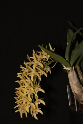Dendrobium speciosum Windermere x Daylight Moon, orchids, cymbidium, cymbidium kimberly splash, tee pee, south east Melbourne, Melbourne, orchid clubs, orchid societies, OSCOV, orchid photos, orchid care, orchid pictures, orchid images, orchid shows, orchid newsletters, orchids on Facebook, orchids of Twitter, Moorabbin, Bentleigh, Brighton, Hampton, Sandringham, Black Rock, Beaumaris, Bayside Council, Bayside district, Kingston, Bayside Melbourne, SE Suburbs, Parkdale, Mordialloc, Carnegie, Cheltenham, McKinnon, Highett, Oakleigh, Clarinda, Heatherton, Clayton, Dingley, Elsternwick, Caulfield, Ormond, Glenhuntley, Murrumbeena,