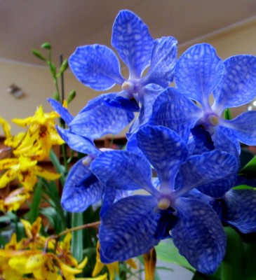 Vanda coerulea, orchids, cymbidium, cymbidium kimberly splash, tee pee, south east Melbourne, Melbourne, orchid clubs, orchid societies, OSCOV, orchid photos, orchid care, orchid pictures, orchid images, orchid shows, orchid newsletters, orchids on Facebook, orchids of Twitter, Moorabbin, Bentleigh, Brighton, Hampton, Sandringham, Black Rock, Beaumaris, Bayside Council, Bayside district, Kingston, Bayside Melbourne, SE Suburbs, Parkdale, Mordialloc, Carnegie, Cheltenham, McKinnon, Highett, Oakleigh, Clarinda, Heatherton, Clayton, Dingley, Elsternwick, Caulfield, Ormond, Glenhuntley, Murrumbeena,