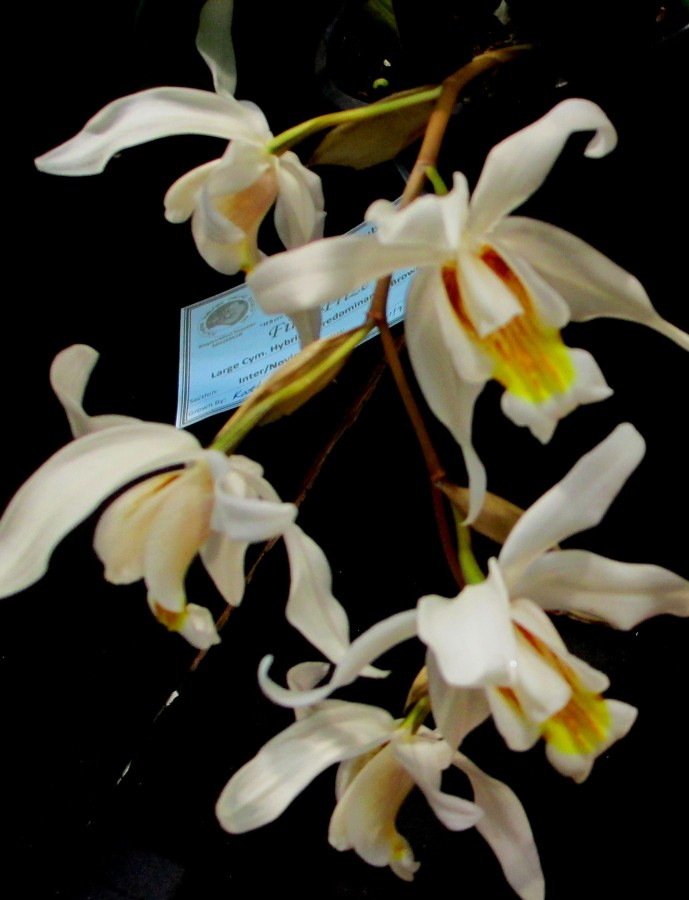 Coelogyne Unchained Melody, orchids, cymbidium, cymbidium kimberly splash, tee pee, south east Melbourne, Melbourne, orchid clubs, orchid societies, OSCOV, orchid photos, orchid care, orchid pictures, orchid images, orchid shows, orchid newsletters, orchids on Facebook, orchids of Twitter, Moorabbin, Bentleigh, Brighton, Hampton, Sandringham, Black Rock, Beaumaris, Bayside Council, Bayside district, Kingston, Bayside Melbourne, SE Suburbs, Parkdale, Mordialloc, Carnegie, Cheltenham, McKinnon, Highett, Oakleigh, Clarinda, Heatherton, Clayton, Dingley, Elsternwick, Caulfield, Ormond, Glenhuntley, Murrumbeena,