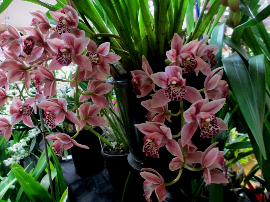 Cymbidium Paradisian Surprise 'Pinky' , orchids, cymbidium, cymbidium kimberly splash, tee pee, south east Melbourne, Melbourne, orchid clubs, orchid societies, OSCOV, orchid photos, orchid care, orchid pictures, orchid images, orchid shows, orchid newsletters, orchids on Facebook, orchids of Twitter, Moorabbin, Bentleigh, Brighton, Hampton, Sandringham, Black Rock, Beaumaris, Bayside Council, Bayside district, Kingston, Bayside Melbourne, SE Suburbs, Parkdale, Mordialloc, Carnegie, Cheltenham, McKinnon, Highett, Oakleigh, Clarinda, Heatherton, Clayton, Dingley, Elsternwick, Caulfield, Ormond, Glenhuntley, Murrumbeena,