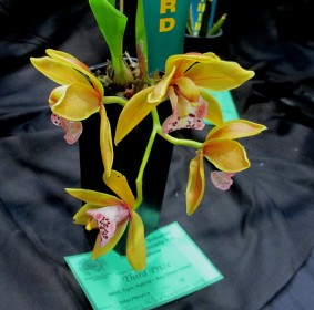 Cymbidium Paradisian Tiger 'Golden Falls', orchids, cymbidium, cymbidium kimberly splash, tee pee, south east Melbourne, Melbourne, orchid clubs, orchid societies, OSCOV, orchid photos, orchid care, orchid pictures, orchid images, orchid shows, orchid newsletters, orchids on Facebook, orchids of Twitter, Moorabbin, Bentleigh, Brighton, Hampton, Sandringham, Black Rock, Beaumaris, Bayside Council, Bayside district, Kingston, Bayside Melbourne, SE Suburbs, Parkdale, Mordialloc, Carnegie, Cheltenham, McKinnon, Highett, Oakleigh, Clarinda, Heatherton, Clayton, Dingley, Elsternwick, Caulfield, Ormond, Glenhuntley, Murrumbeena,