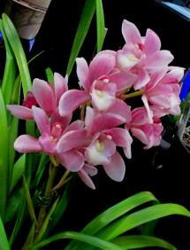 Cymbidium 'Rosie' Sarah Jean x Alexandria, orchids, cymbidium, cymbidium kimberly splash, tee pee, south east Melbourne, Melbourne, orchid clubs, orchid societies, OSCOV, orchid photos, orchid care, orchid pictures, orchid images, orchid shows, orchid newsletters, orchids on Facebook, orchids of Twitter, Moorabbin, Bentleigh, Brighton, Hampton, Sandringham, Black Rock, Beaumaris, Bayside Council, Bayside district, Kingston, Bayside Melbourne, SE Suburbs, Parkdale, Mordialloc, Carnegie, Cheltenham, McKinnon, Highett, Oakleigh, Clarinda, Heatherton, Clayton, Dingley, Elsternwick, Caulfield, Ormond, Glenhuntley, Murrumbeena,