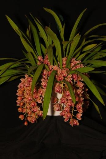 Cymbidium Maluka 'Baby Pink', orchids, cymbidium, cymbidium kimberly splash, tee pee, south east Melbourne, Melbourne, orchid clubs, orchid societies, OSCOV, orchid photos, orchid care, orchid pictures, orchid images, orchid shows, orchid newsletters, orchids on Facebook, orchids of Twitter, Moorabbin, Bentleigh, Brighton, Hampton, Sandringham, Black Rock, Beaumaris, Bayside Council, Bayside district, Kingston, Bayside Melbourne, SE Suburbs, Parkdale, Mordialloc, Carnegie, Cheltenham, McKinnon, Highett, Oakleigh, Clarinda, Heatherton, Clayton, Dingley, Elsternwick, Caulfield, Ormond, Glenhuntley, Murrumbeena,