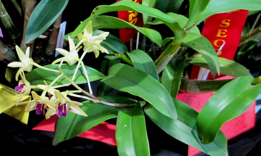 Dendrobium Australian Artist [Remake] Cobber 'Lavender & Lune' x speciosum curvacaule 'Yellow Moon', orchids, cymbidium, cymbidium kimberly splash, tee pee, south east Melbourne, Melbourne, orchid clubs, orchid societies, OSCOV, orchid photos, orchid care, orchid pictures, orchid images, orchid shows, orchid newsletters, orchids on Facebook, orchids of Twitter, Moorabbin, Bentleigh, Brighton, Hampton, Sandringham, Black Rock, Beaumaris, Bayside Council, Bayside district, Kingston, Bayside Melbourne, SE Suburbs, Parkdale, Mordialloc, Carnegie, Cheltenham, McKinnon, Highett, Oakleigh, Clarinda, Heatherton, Clayton, Dingley, Elsternwick, Caulfield, Ormond, Glenhuntley, Murrumbeena,