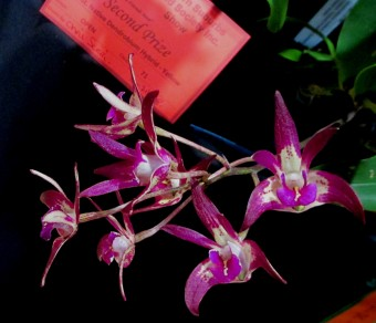 Dendrobium Cobber 'Velvet Frost' x Cobber 'Violet Gold', orchids, cymbidium, cymbidium kimberly splash, tee pee, south east Melbourne, Melbourne, orchid clubs, orchid societies, OSCOV, orchid photos, orchid care, orchid pictures, orchid images, orchid shows, orchid newsletters, orchids on Facebook, orchids of Twitter, Moorabbin, Bentleigh, Brighton, Hampton, Sandringham, Black Rock, Beaumaris, Bayside Council, Bayside district, Kingston, Bayside Melbourne, SE Suburbs, Parkdale, Mordialloc, Carnegie, Cheltenham, McKinnon, Highett, Oakleigh, Clarinda, Heatherton, Clayton, Dingley, Elsternwick, Caulfield, Ormond, Glenhuntley, Murrumbeena,