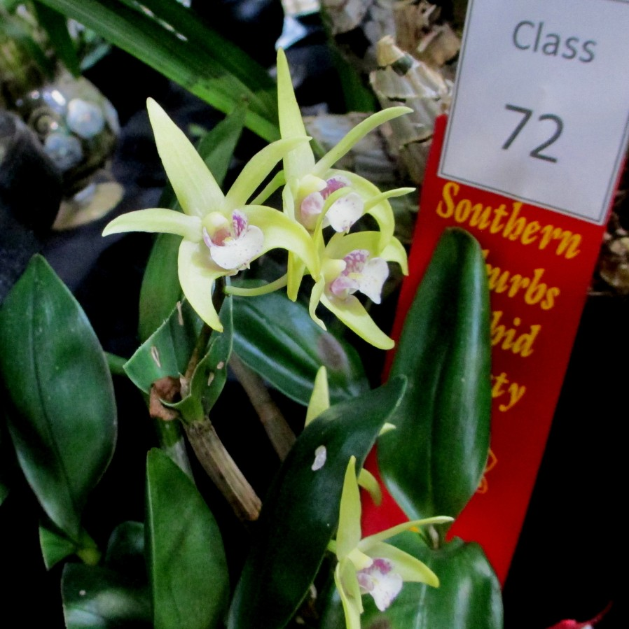 Dendrobium Lemon Ice x Victorian Splendour 'Snow Leopard', orchids, cymbidium, cymbidium kimberly splash, tee pee, south east Melbourne, Melbourne, orchid clubs, orchid societies, OSCOV, orchid photos, orchid care, orchid pictures, orchid images, orchid shows, orchid newsletters, orchids on Facebook, orchids of Twitter, Moorabbin, Bentleigh, Brighton, Hampton, Sandringham, Black Rock, Beaumaris, Bayside Council, Bayside district, Kingston, Bayside Melbourne, SE Suburbs, Parkdale, Mordialloc, Carnegie, Cheltenham, McKinnon, Highett, Oakleigh, Clarinda, Heatherton, Clayton, Dingley, Elsternwick, Caulfield, Ormond, Glenhuntley, Murrumbeena,