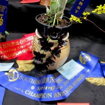 Fredclarkeara 'Midnight Sky', orchids, cymbidium, cymbidium kimberly splash, tee pee, south east Melbourne, Melbourne, orchid clubs, orchid societies, OSCOV, orchid photos, orchid care, orchid pictures, orchid images, orchid shows, orchid newsletters, orchids on Facebook, orchids of Twitter, Moorabbin, Bentleigh, Brighton, Hampton, Sandringham, Black Rock, Beaumaris, Bayside Council, Bayside district, Kingston, Bayside Melbourne, SE Suburbs, Parkdale, Mordialloc, Carnegie, Cheltenham, McKinnon, Highett, Oakleigh, Clarinda, Heatherton, Clayton, Dingley, Elsternwick, Caulfield, Ormond, Glenhuntley, Murrumbeena,