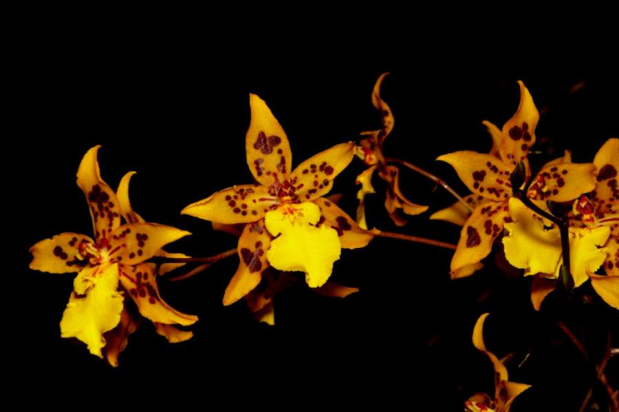 Oncidium Burrows Gold, orchids, cymbidium, cymbidium kimberly splash, tee pee, south east Melbourne, Melbourne, orchid clubs, orchid societies, OSCOV, orchid photos, orchid care, orchid pictures, orchid images, orchid shows, orchid newsletters, orchids on Facebook, orchids of Twitter, Moorabbin, Bentleigh, Brighton, Hampton, Sandringham, Black Rock, Beaumaris, Bayside Council, Bayside district, Kingston, Bayside Melbourne, SE Suburbs, Parkdale, Mordialloc, Carnegie, Cheltenham, McKinnon, Highett, Oakleigh, Clarinda, Heatherton, Clayton, Dingley, Elsternwick, Caulfield, Ormond, Glenhuntley, Murrumbeena,