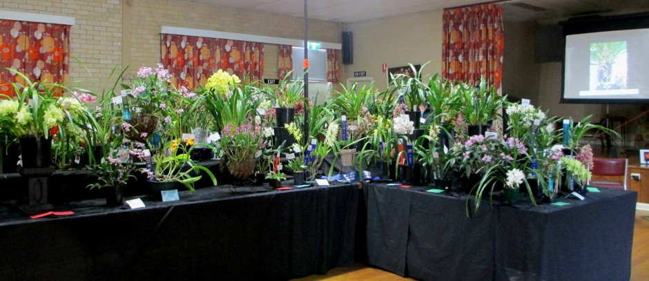 SSOS Spring Show 2018, orchids, cymbidium, cymbidium kimberly splash, tee pee, south east Melbourne, Melbourne, orchid clubs, orchid societies, OSCOV, orchid photos, orchid care, orchid pictures, orchid images, orchid shows, orchid newsletters, orchids on Facebook, orchids of Twitter, Moorabbin, Bentleigh, Brighton, Hampton, Sandringham, Black Rock, Beaumaris, Bayside Council, Bayside district, Kingston, Bayside Melbourne, SE Suburbs, Parkdale, Mordialloc, Carnegie, Cheltenham, McKinnon, Highett, Oakleigh, Clarinda, Heatherton, Clayton, Dingley, Elsternwick, Caulfield, Ormond, Glenhuntley, Murrumbeena,