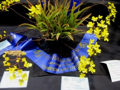 Tolm onusta, orchids, cymbidium, cymbidium kimberly splash, tee pee, south east Melbourne, Melbourne, orchid clubs, orchid societies, OSCOV, orchid photos, orchid care, orchid pictures, orchid images, orchid shows, orchid newsletters, orchids on Facebook, orchids of Twitter, Moorabbin, Bentleigh, Brighton, Hampton, Sandringham, Black Rock, Beaumaris, Bayside Council, Bayside district, Kingston, Bayside Melbourne, SE Suburbs, Parkdale, Mordialloc, Carnegie, Cheltenham, McKinnon, Highett, Oakleigh, Clarinda, Heatherton, Clayton, Dingley, Elsternwick, Caulfield, Ormond, Glenhuntley, Murrumbeena,