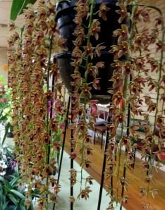 Cymbidium Cricket 'Judith Anne' HCC OSCOV, orchids, cymbidium, cymbidium kimberly splash, tee pee, south east Melbourne, Melbourne, orchid clubs, orchid societies, OSCOV, orchid photos, orchid care, orchid pictures, orchid images, orchid shows, orchid newsletters, orchids on Facebook, orchids of Twitter, Moorabbin, Bentleigh, Brighton, Hampton, Sandringham, Black Rock, Beaumaris, Bayside Council, Bayside district, Kingston, Bayside Melbourne, SE Suburbs, Parkdale, Mordialloc, Carnegie, Cheltenham, McKinnon, Highett, Oakleigh, Clarinda, Heatherton, Clayton, Dingley, Elsternwick, Caulfield, Ormond, Glenhuntley, Murrumbeena,