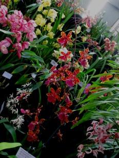 SSOS orchid display, orchids, cymbidium, cymbidium kimberly splash, tee pee, south east Melbourne, Melbourne, orchid clubs, orchid societies, OSCOV, orchid photos, orchid care, orchid pictures, orchid images, orchid shows, orchid newsletters, orchids on Facebook, orchids of Twitter, Moorabbin, Bentleigh, Brighton, Hampton, Sandringham, Black Rock, Beaumaris, Bayside Council, Bayside district, Kingston, Bayside Melbourne, SE Suburbs, Parkdale, Mordialloc, Carnegie, Cheltenham, McKinnon, Highett, Oakleigh, Clarinda, Heatherton, Clayton, Dingley, Elsternwick, Caulfield, Ormond, Glenhuntley, Murrumbeena,