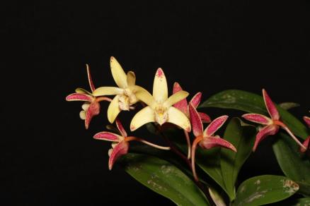 Dendrobium Australian Artist, orchids, cymbidium, cymbidium kimberly splash, tee pee, south east Melbourne, Melbourne, orchid clubs, orchid societies, OSCOV, orchid photos, orchid care, orchid pictures, orchid images, orchid shows, orchid newsletters, orchids on Facebook, orchids of Twitter, Moorabbin, Bentleigh, Brighton, Hampton, Sandringham, Black Rock, Beaumaris, Bayside Council, Bayside district, Kingston, Bayside Melbourne, SE Suburbs, Parkdale, Mordialloc, Carnegie, Cheltenham, McKinnon, Highett, Oakleigh, Clarinda, Heatherton, Clayton, Dingley, Elsternwick, Caulfield, Ormond, Glenhuntley, Murrumbeena,