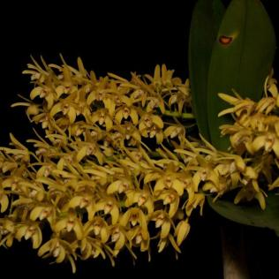 Dendrobium Two Moons (Dorrit Moon x Daylight Moon),orchids, cymbidium, cymbidium kimberly splash, tee pee, south east Melbourne, Melbourne, orchid clubs, orchid societies, OSCOV, orchid photos, orchid care, orchid pictures, orchid images, orchid shows, orchid newsletters, orchids on Facebook, orchids of Twitter, Moorabbin, Bentleigh, Brighton, Hampton, Sandringham, Black Rock, Beaumaris, Bayside Council, Bayside district, Kingston, Bayside Melbourne, SE Suburbs, Parkdale, Mordialloc, Carnegie, Cheltenham, McKinnon, Highett, Oakleigh, Clarinda, Heatherton, Clayton, Dingley, Elsternwick, Caulfield, Ormond, Glenhuntley, Murrumbeena,
