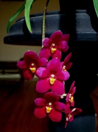 Seedling - Sarcochilus Highfilelds, orchids, cymbidium, cymbidium kimberly splash, tee pee, south east Melbourne, Melbourne, orchid clubs, orchid societies, OSCOV, orchid photos, orchid care, orchid pictures, orchid images, orchid shows, orchid newsletters, orchids on Facebook, orchids of Twitter, Moorabbin, Bentleigh, Brighton, Hampton, Sandringham, Black Rock, Beaumaris, Bayside Council, Bayside district, Kingston, Bayside Melbourne, SE Suburbs, Parkdale, Mordialloc, Carnegie, Cheltenham, McKinnon, Highett, Oakleigh, Clarinda, Heatherton, Clayton, Dingley, Elsternwick, Caulfield, Ormond, Glenhuntley, Murrumbeena,