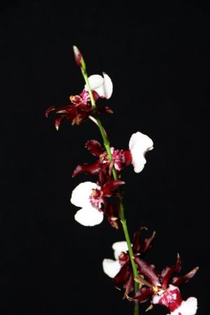 Oncidium Sharry Baby 'Yung Shing', orchids, cymbidium, cymbidium kimberly splash, tee pee, south east Melbourne, Melbourne, orchid clubs, orchid societies, OSCOV, orchid photos, orchid care, orchid pictures, orchid images, orchid shows, orchid newsletters, orchids on Facebook, orchids of Twitter, Moorabbin, Bentleigh, Brighton, Hampton, Sandringham, Black Rock, Beaumaris, Bayside Council, Bayside district, Kingston, Bayside Melbourne, SE Suburbs, Parkdale, Mordialloc, Carnegie, Cheltenham, McKinnon, Highett, Oakleigh, Clarinda, Heatherton, Clayton, Dingley, Elsternwick, Caulfield, Ormond, Glenhuntley, Murrumbeena,