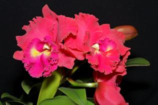 BLC Tainan City, orchids, cymbidium, cymbidium kimberly splash, tee pee, south east Melbourne, Melbourne, orchid clubs, orchid societies, OSCOV, orchid photos, orchid care, orchid pictures, orchid images, orchid shows, orchid newsletters, orchids on Facebook, orchids of Twitter, Moorabbin, Bentleigh, Brighton, Hampton, Sandringham, Black Rock, Beaumaris, Bayside Council, Bayside district, Kingston, Bayside Melbourne, SE Suburbs, Parkdale, Mordialloc, Carnegie, Cheltenham, McKinnon, Highett, Oakleigh, Clarinda, Heatherton, Clayton, Dingley, Elsternwick, Caulfield, Ormond, Glenhuntley, Murrumbeena,