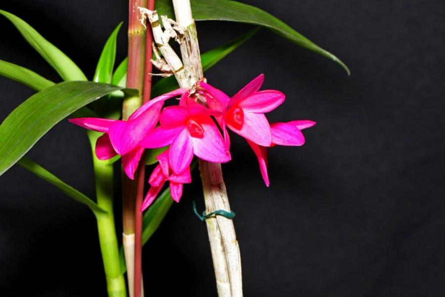 Dendrobium mohlianum x glomeratum, orchids, cymbidium, cymbidium kimberly splash, tee pee, south east Melbourne, Melbourne, orchid clubs, orchid societies, OSCOV, orchid photos, orchid care, orchid pictures, orchid images, orchid shows, orchid newsletters, orchids on Facebook, orchids of Twitter, Moorabbin, Bentleigh, Brighton, Hampton, Sandringham, Black Rock, Beaumaris, Bayside Council, Bayside district, Kingston, Bayside Melbourne, SE Suburbs, Parkdale, Mordialloc, Carnegie, Cheltenham, McKinnon, Highett, Oakleigh, Clarinda, Heatherton, Clayton, Dingley, Elsternwick, Caulfield, Ormond, Glenhuntley, Murrumbeena,