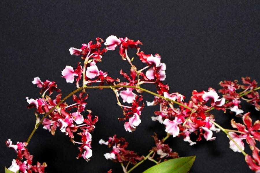 Oncidium Sharry Baby 'Sweet Fragrance', orchids, cymbidium, cymbidium kimberly splash, tee pee, south east Melbourne, Melbourne, orchid clubs, orchid societies, OSCOV, orchid photos, orchid care, orchid pictures, orchid images, orchid shows, orchid newsletters, orchids on Facebook, orchids of Twitter, Moorabbin, Bentleigh, Brighton, Hampton, Sandringham, Black Rock, Beaumaris, Bayside Council, Bayside district, Kingston, Bayside Melbourne, SE Suburbs, Parkdale, Mordialloc, Carnegie, Cheltenham, McKinnon, Highett, Oakleigh, Clarinda, Heatherton, Clayton, Dingley, Elsternwick, Caulfield, Ormond, Glenhuntley, Murrumbeena,