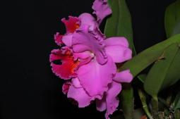 Cattleya Petch Ratchasima, orchids, cymbidium, cymbidium kimberly splash, tee pee, south east Melbourne, Melbourne, orchid clubs, orchid societies, OSCOV, orchid photos, orchid care, orchid pictures, orchid images, orchid shows, orchid newsletters, orchids on Facebook, orchids of Twitter, Moorabbin, Bentleigh, Brighton, Hampton, Sandringham, Black Rock, Beaumaris, Bayside Council, Bayside district, Kingston, Bayside Melbourne, SE Suburbs, Parkdale, Mordialloc, Carnegie, Cheltenham, McKinnon, Highett, Oakleigh, Clarinda, Heatherton, Clayton, Dingley, Elsternwick, Caulfield, Ormond, Glenhuntley, Murrumbeena,