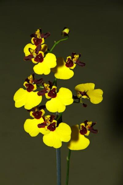 Oncidium Moon Shadow x varicosum v baldins, orchids, cymbidium, cymbidium kimberly splash, tee pee, south east Melbourne, Melbourne, orchid clubs, orchid societies, OSCOV, orchid photos, orchid care, orchid pictures, orchid images, orchid shows, orchid newsletters, orchids on Facebook, orchids of Twitter, Moorabbin, Bentleigh, Brighton, Hampton, Sandringham, Black Rock, Beaumaris, Bayside Council, Bayside district, Kingston, Bayside Melbourne, SE Suburbs, Parkdale, Mordialloc, Carnegie, Cheltenham, McKinnon, Highett, Oakleigh, Clarinda, Heatherton, Clayton, Dingley, Elsternwick, Caulfield, Ormond, Glenhuntley, Murrumbeena,
