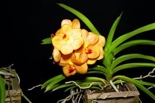 Ascocenda Samsri Thai Spot, orchids, cymbidium, cymbidium kimberly splash, tee pee, south east Melbourne, Melbourne, orchid clubs, orchid societies, OSCOV, orchid photos, orchid care, orchid pictures, orchid images, orchid shows, orchid newsletters, orchids on Facebook, orchids of Twitter, Moorabbin, Bentleigh, Brighton, Hampton, Sandringham, Black Rock, Beaumaris, Bayside Council, Bayside district, Kingston, Bayside Melbourne, SE Suburbs, Parkdale, Mordialloc, Carnegie, Cheltenham, McKinnon, Highett, Oakleigh, Clarinda, Heatherton, Clayton, Dingley, Elsternwick, Caulfield, Ormond, Glenhuntley, Murrumbeena,