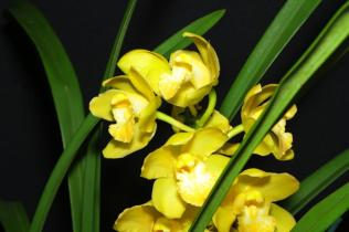 Cymbidium Katie's Gold 'Sunrise', orchids, cymbidium, cymbidium kimberly splash, tee pee, south east Melbourne, Melbourne, orchid clubs, orchid societies, OSCOV, orchid photos, orchid care, orchid pictures, orchid images, orchid shows, orchid newsletters, orchids on Facebook, orchids of Twitter, Moorabbin, Bentleigh, Brighton, Hampton, Sandringham, Black Rock, Beaumaris, Bayside Council, Bayside district, Kingston, Bayside Melbourne, SE Suburbs, Parkdale, Mordialloc, Carnegie, Cheltenham, McKinnon, Highett, Oakleigh, Clarinda, Heatherton, Clayton, Dingley, Elsternwick, Caulfield, Ormond, Glenhuntley, Murrumbeena,