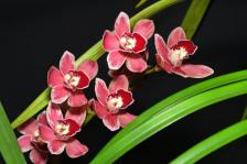 Cymbidium Peter Fire Cutie, orchids, cymbidium, cymbidium kimberly splash, tee pee, south east Melbourne, Melbourne, orchid clubs, orchid societies, OSCOV, orchid photos, orchid care, orchid pictures, orchid images, orchid shows, orchid newsletters, orchids on Facebook, orchids of Twitter, Moorabbin, Bentleigh, Brighton, Hampton, Sandringham, Black Rock, Beaumaris, Bayside Council, Bayside district, Kingston, Bayside Melbourne, SE Suburbs, Parkdale, Mordialloc, Carnegie, Cheltenham, McKinnon, Highett, Oakleigh, Clarinda, Heatherton, Clayton, Dingley, Elsternwick, Caulfield, Ormond, Glenhuntley, Murrumbeena,
