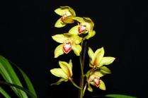 Cymbidium Peter Pan x Tracey Reddaway, orchids, cymbidium, cymbidium kimberly splash, tee pee, south east Melbourne, Melbourne, orchid clubs, orchid societies, OSCOV, orchid photos, orchid care, orchid pictures, orchid images, orchid shows, orchid newsletters, orchids on Facebook, orchids of Twitter, Moorabbin, Bentleigh, Brighton, Hampton, Sandringham, Black Rock, Beaumaris, Bayside Council, Bayside district, Kingston, Bayside Melbourne, SE Suburbs, Parkdale, Mordialloc, Carnegie, Cheltenham, McKinnon, Highett, Oakleigh, Clarinda, Heatherton, Clayton, Dingley, Elsternwick, Caulfield, Ormond, Glenhuntley, Murrumbeena,