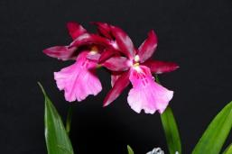 Miltonia Tropic Skies 'Anurat', orchids, cymbidium, cymbidium kimberly splash, tee pee, south east Melbourne, Melbourne, orchid clubs, orchid societies, OSCOV, orchid photos, orchid care, orchid pictures, orchid images, orchid shows, orchid newsletters, orchids on Facebook, orchids of Twitter, Moorabbin, Bentleigh, Brighton, Hampton, Sandringham, Black Rock, Beaumaris, Bayside Council, Bayside district, Kingston, Bayside Melbourne, SE Suburbs, Parkdale, Mordialloc, Carnegie, Cheltenham, McKinnon, Highett, Oakleigh, Clarinda, Heatherton, Clayton, Dingley, Elsternwick, Caulfield, Ormond, Glenhuntley, Murrumbeena,