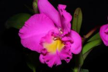 RLC Pink Delight 'Burdekin, orchids, cymbidium, cymbidium kimberly splash, tee pee, south east Melbourne, Melbourne, orchid clubs, orchid societies, OSCOV, orchid photos, orchid care, orchid pictures, orchid images, orchid shows, orchid newsletters, orchids on Facebook, orchids of Twitter, Moorabbin, Bentleigh, Brighton, Hampton, Sandringham, Black Rock, Beaumaris, Bayside Council, Bayside district, Kingston, Bayside Melbourne, SE Suburbs, Parkdale, Mordialloc, Carnegie, Cheltenham, McKinnon, Highett, Oakleigh, Clarinda, Heatherton, Clayton, Dingley, Elsternwick, Caulfield, Ormond, Glenhuntley, Murrumbeena,