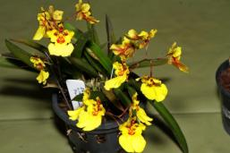 Zelemnia Liz 'Full Moon', orchids, cymbidium, cymbidium kimberly splash, tee pee, south east Melbourne, Melbourne, orchid clubs, orchid societies, OSCOV, orchid photos, orchid care, orchid pictures, orchid images, orchid shows, orchid newsletters, orchids on Facebook, orchids of Twitter, Moorabbin, Bentleigh, Brighton, Hampton, Sandringham, Black Rock, Beaumaris, Bayside Council, Bayside district, Kingston, Bayside Melbourne, SE Suburbs, Parkdale, Mordialloc, Carnegie, Cheltenham, McKinnon, Highett, Oakleigh, Clarinda, Heatherton, Clayton, Dingley, Elsternwick, Caulfield, Ormond, Glenhuntley, Murrumbeena,