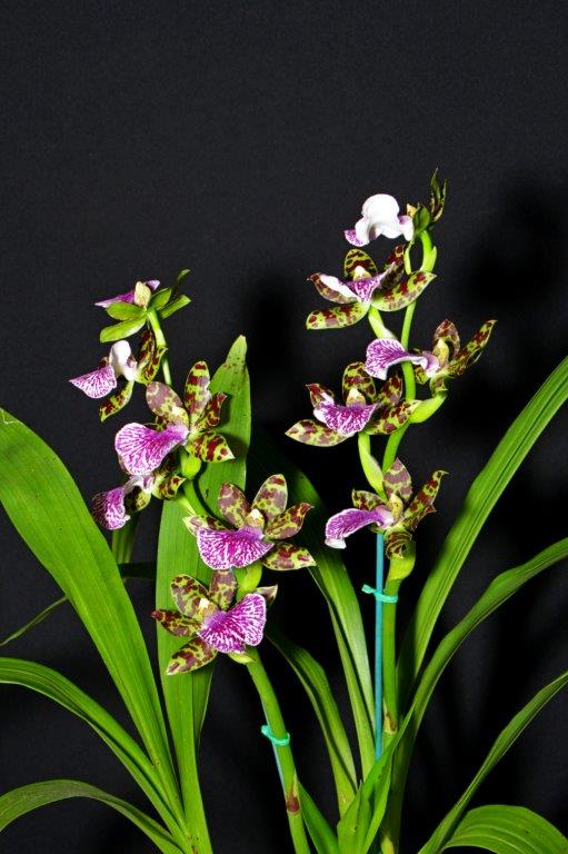 Zygopetalum Titanic 'Victoria No2', orchids, cymbidium, cymbidium kimberly splash, tee pee, south east Melbourne, Melbourne, orchid clubs, orchid societies, OSCOV, orchid photos, orchid care, orchid pictures, orchid images, orchid shows, orchid newsletters, orchids on Facebook, orchids of Twitter, Moorabbin, Bentleigh, Brighton, Hampton, Sandringham, Black Rock, Beaumaris, Bayside Council, Bayside district, Kingston, Bayside Melbourne, SE Suburbs, Parkdale, Mordialloc, Carnegie, Cheltenham, McKinnon, Highett, Oakleigh, Clarinda, Heatherton, Clayton, Dingley, Elsternwick, Caulfield, Ormond, Glenhuntley, Murrumbeena,