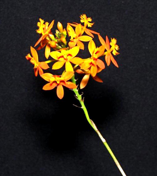 Epidendrum ibaguense, orchids, cymbidium, cymbidium kimberly splash, tee pee, south east Melbourne, Melbourne, orchid clubs, orchid societies, OSCOV, orchid photos, orchid care, orchid pictures, orchid images, orchid shows, orchid newsletters, orchids on Facebook, orchids of Twitter, Moorabbin, Bentleigh, Brighton, Hampton, Sandringham, Black Rock, Beaumaris, Bayside Council, Bayside district, Kingston, Bayside Melbourne, SE Suburbs, Parkdale, Mordialloc, Carnegie, Cheltenham, McKinnon, Highett, Oakleigh, Clarinda, Heatherton, Clayton, Dingley, Elsternwick, Caulfield, Ormond, Glenhuntley, Murrumbeena,
