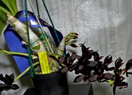 Monnierara Millenium Magic 'Witchraft' - Members Choice, orchids, cymbidium, cymbidium kimberly splash, tee pee, south east Melbourne, Melbourne, orchid clubs, orchid societies, OSCOV, orchid photos, orchid care, orchid pictures, orchid images, orchid shows, orchid newsletters, orchids on Facebook, orchids of Twitter, Moorabbin, Bentleigh, Brighton, Hampton, Sandringham, Black Rock, Beaumaris, Bayside Council, Bayside district, Kingston, Bayside Melbourne, SE Suburbs, Parkdale, Mordialloc, Carnegie, Cheltenham, McKinnon, Highett, Oakleigh, Clarinda, Heatherton, Clayton, Dingley, Elsternwick, Caulfield, Ormond, Glenhuntley, Murrumbeena,