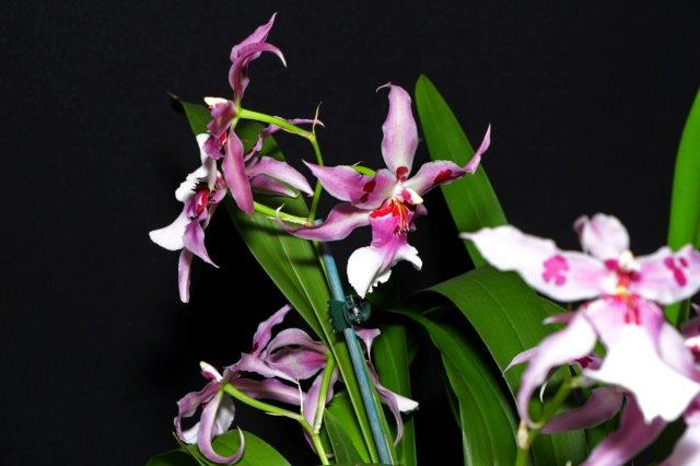 Beallara Peggy Ruth Carpenter 'Morning Joy', orchids, cymbidium, cymbidium kimberly splash, tee pee, south east Melbourne, Melbourne, orchid clubs, orchid societies, OSCOV, orchid photos, orchid care, orchid pictures, orchid images, orchid shows, orchid newsletters, orchids on Facebook, orchids of Twitter, Moorabbin, Bentleigh, Brighton, Hampton, Sandringham, Black Rock, Beaumaris, Bayside Council, Bayside district, Kingston, Bayside Melbourne, SE Suburbs, Parkdale, Mordialloc, Carnegie, Cheltenham, McKinnon, Highett, Oakleigh, Clarinda, Heatherton, Clayton, Dingley, Elsternwick, Caulfield, Ormond, Glenhuntley, Murrumbeena,