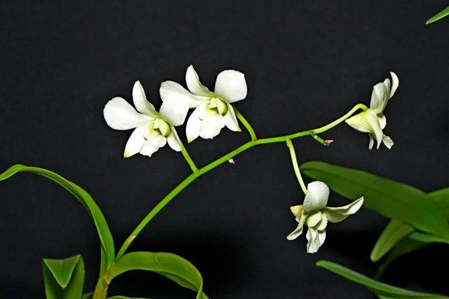 Dendrobium New White, orchids, cymbidium, cymbidium kimberly splash, tee pee, south east Melbourne, Melbourne, orchid clubs, orchid societies, OSCOV, orchid photos, orchid care, orchid pictures, orchid images, orchid shows, orchid newsletters, orchids on Facebook, orchids of Twitter, Moorabbin, Bentleigh, Brighton, Hampton, Sandringham, Black Rock, Beaumaris, Bayside Council, Bayside district, Kingston, Bayside Melbourne, SE Suburbs, Parkdale, Mordialloc, Carnegie, Cheltenham, McKinnon, Highett, Oakleigh, Clarinda, Heatherton, Clayton, Dingley, Elsternwick, Caulfield, Ormond, Glenhuntley, Murrumbeena,