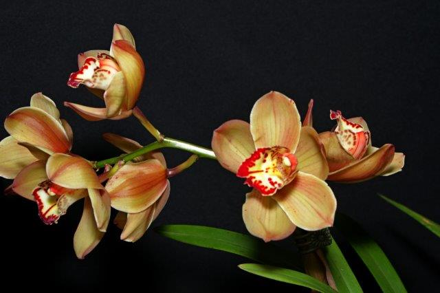 Cymbidium Breakout Flame x Valley Webster, orchids, cymbidium, cymbidium kimberly splash, tee pee, south east Melbourne, Melbourne, orchid clubs, orchid societies, OSCOV, orchid photos, orchid care, orchid pictures, orchid images, orchid shows, orchid newsletters, orchids on Facebook, orchids of Twitter, Moorabbin, Bentleigh, Brighton, Hampton, Sandringham, Black Rock, Beaumaris, Bayside Council, Bayside district, Kingston, Bayside Melbourne, SE Suburbs, Parkdale, Mordialloc, Carnegie, Cheltenham, McKinnon, Highett, Oakleigh, Clarinda, Heatherton, Clayton, Dingley, Elsternwick, Caulfield, Ormond, Glenhuntley, Murrumbeena,