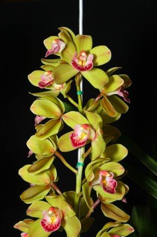 Cymbidium Keith's Pet 'Lenchen', orchids, cymbidium, cymbidium kimberly splash, tee pee, south east Melbourne, Melbourne, orchid clubs, orchid societies, OSCOV, orchid photos, orchid care, orchid pictures, orchid images, orchid shows, orchid newsletters, orchids on Facebook, orchids of Twitter, Moorabbin, Bentleigh, Brighton, Hampton, Sandringham, Black Rock, Beaumaris, Bayside Council, Bayside district, Kingston, Bayside Melbourne, SE Suburbs, Parkdale, Mordialloc, Carnegie, Cheltenham, McKinnon, Highett, Oakleigh, Clarinda, Heatherton, Clayton, Dingley, Elsternwick, Caulfield, Ormond, Glenhuntley, Murrumbeena,