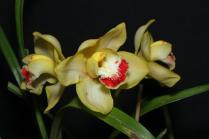 Cymbidum Intense Gold Devon x Mem John Harris (seedling flowering for 1st time), orchids, cymbidium, cymbidium kimberly splash, tee pee, south east Melbourne, Melbourne, orchid clubs, orchid societies, OSCOV, orchid photos, orchid care, orchid pictures, orchid images, orchid shows, orchid newsletters, orchids on Facebook, orchids of Twitter, Moorabbin, Bentleigh, Brighton, Hampton, Sandringham, Black Rock, Beaumaris, Bayside Council, Bayside district, Kingston, Bayside Melbourne, SE Suburbs, Parkdale, Mordialloc, Carnegie, Cheltenham, McKinnon, Highett, Oakleigh, Clarinda, Heatherton, Clayton, Dingley, Elsternwick, Caulfield, Ormond, Glenhuntley, Murrumbeena,