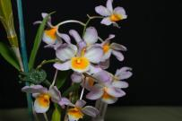 Dendrobium farmeri (seedling flowering for 1st time), orchids, cymbidium, cymbidium kimberly splash, tee pee, south east Melbourne, Melbourne, orchid clubs, orchid societies, OSCOV, orchid photos, orchid care, orchid pictures, orchid images, orchid shows, orchid newsletters, orchids on Facebook, orchids of Twitter, Moorabbin, Bentleigh, Brighton, Hampton, Sandringham, Black Rock, Beaumaris, Bayside Council, Bayside district, Kingston, Bayside Melbourne, SE Suburbs, Parkdale, Mordialloc, Carnegie, Cheltenham, McKinnon, Highett, Oakleigh, Clarinda, Heatherton, Clayton, Dingley, Elsternwick, Caulfield, Ormond, Glenhuntley, Murrumbeena,