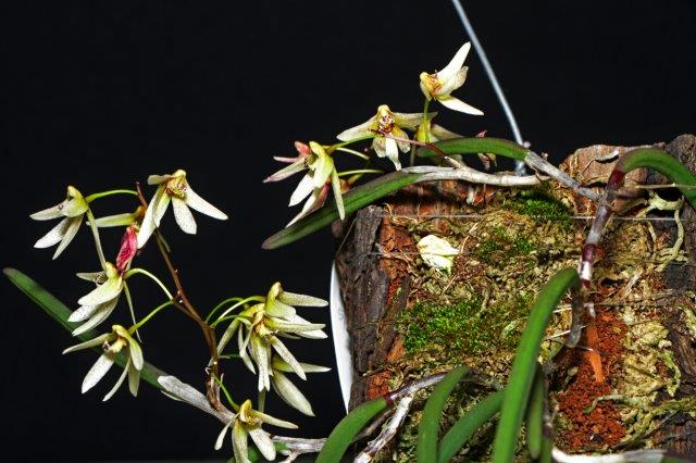 Dockrillia Virginia Jupp 'Tumbi x Fulginosa 'Black Pam', orchids, cymbidium, cymbidium kimberly splash, tee pee, south east Melbourne, Melbourne, orchid clubs, orchid societies, OSCOV, orchid photos, orchid care, orchid pictures, orchid images, orchid shows, orchid newsletters, orchids on Facebook, orchids of Twitter, Moorabbin, Bentleigh, Brighton, Hampton, Sandringham, Black Rock, Beaumaris, Bayside Council, Bayside district, Kingston, Bayside Melbourne, SE Suburbs, Parkdale, Mordialloc, Carnegie, Cheltenham, McKinnon, Highett, Oakleigh, Clarinda, Heatherton, Clayton, Dingley, Elsternwick, Caulfield, Ormond, Glenhuntley, Murrumbeena,