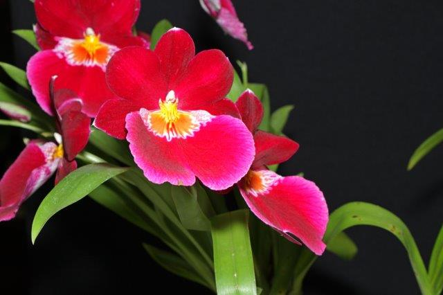 Miltoniopsis Hamburg x Herman Sweet 'Bonfire', orchids, cymbidium, cymbidium kimberly splash, tee pee, south east Melbourne, Melbourne, orchid clubs, orchid societies, OSCOV, orchid photos, orchid care, orchid pictures, orchid images, orchid shows, orchid newsletters, orchids on Facebook, orchids of Twitter, Moorabbin, Bentleigh, Brighton, Hampton, Sandringham, Black Rock, Beaumaris, Bayside Council, Bayside district, Kingston, Bayside Melbourne, SE Suburbs, Parkdale, Mordialloc, Carnegie, Cheltenham, McKinnon, Highett, Oakleigh, Clarinda, Heatherton, Clayton, Dingley, Elsternwick, Caulfield, Ormond, Glenhuntley, Murrumbeena,