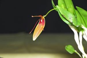 Restrepia antennifera, orchids, cymbidium, cymbidium kimberly splash, tee pee, south east Melbourne, Melbourne, orchid clubs, orchid societies, OSCOV, orchid photos, orchid care, orchid pictures, orchid images, orchid shows, orchid newsletters, orchids on Facebook, orchids of Twitter, Moorabbin, Bentleigh, Brighton, Hampton, Sandringham, Black Rock, Beaumaris, Bayside Council, Bayside district, Kingston, Bayside Melbourne, SE Suburbs, Parkdale, Mordialloc, Carnegie, Cheltenham, McKinnon, Highett, Oakleigh, Clarinda, Heatherton, Clayton, Dingley, Elsternwick, Caulfield, Ormond, Glenhuntley, Murrumbeena,
