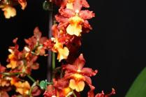 Wilsonara Space Mine 'Red Rendezvous', orchids, cymbidium, cymbidium kimberly splash, tee pee, south east Melbourne, Melbourne, orchid clubs, orchid societies, OSCOV, orchid photos, orchid care, orchid pictures, orchid images, orchid shows, orchid newsletters, orchids on Facebook, orchids of Twitter, Moorabbin, Bentleigh, Brighton, Hampton, Sandringham, Black Rock, Beaumaris, Bayside Council, Bayside district, Kingston, Bayside Melbourne, SE Suburbs, Parkdale, Mordialloc, Carnegie, Cheltenham, McKinnon, Highett, Oakleigh, Clarinda, Heatherton, Clayton, Dingley, Elsternwick, Caulfield, Ormond, Glenhuntley, Murrumbeena,